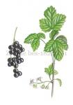 Zwarte bes-plant-met bessen-182496-1