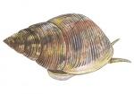 Magrove slak-12165.jpg