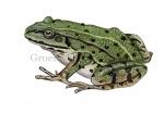 Groene kikker-170002