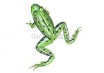 Groene kikker-zwemmend-17035