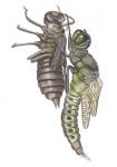 Viervlek-larve-uitsluipen14677-2.jpg