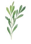 Bitterwilg-tak-met-bladeren-182655.jpg