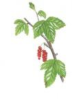 Bosaalbes-bladeren en bessen-182636.jpg