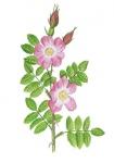 Egelantier-bladeren-en-bloem-182637.jpg