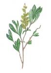 Gagel-bladeren-en-bloem-182665.jpg
