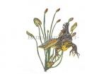 Kamsalamander-man-vooraanzicht-tussen waterplanten-17050
