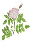 Hondsroos-bladeren en bloem-182639.jpg