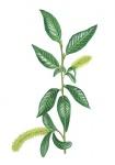 Laurierwilg-bloemen-mannelijk-182647.jpg