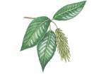 Laurierwilg-vruchten-182646.jpg
