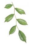 Ruwe-iep-bladeren-182632.jpg