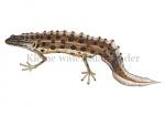 Kleine watersalamander-17006