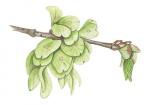 Ruwe-iep-zaden-182634.jpg