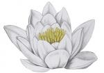 Waterlelie-bloem-182600-1.jpg