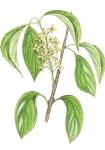 Wegedoorn-bloem-182627.jpg