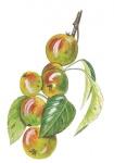 Wilde-appel-vruchten-182663.jpg