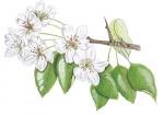 Wilde-peer-bloemen-182664.jpg