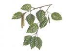 Zachte berk-bladeren en mannelijk en vrouwelijke bloeiwijze-182641.jpg