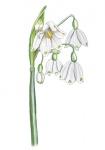 Zomerklokje-bloem-182380-2.jpg