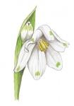 Zomerklokje-bloem-182609.jpg