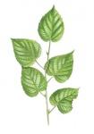 Zomerlinde-tak-met-bladeren-182657.jpg