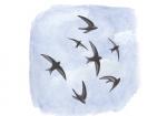 Gierzwaluw-groep vlucht-10823.jpg