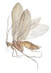 Kokerjuffer-Rhyacophila dorsalis-14672.jpg