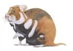 Hamster-11302.jpg