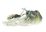 Grasbij-in nest-in gevecht met kortsprietpwespbij-14617