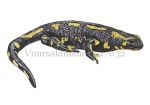 Vuursalamander-17032