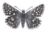 Aardbeivlinder-14238