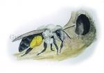 Grijze zandbij-bij nest-14229