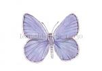 Icarusblauwtje-14030