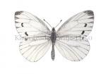 Klein geaderd witje-14150