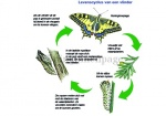 Koninginnenpage-Levenscyclus vlinder-140059
