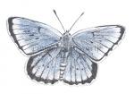 Pimpernelblauwtje-mannetje-14284