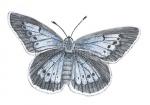 Pimpernelblauwtje-vrouwtje-14283