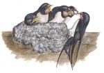 Boerenzwaluw-nest met jongen-10592