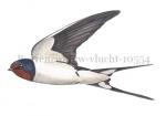 Boerenzwaluw-vlucht-10554