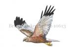 Bruine kiekendief-m-vlucht-10613
