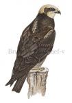 Bruine kiekendief-v-10406