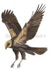 Bruine kiekendief-v-vlucht-10498