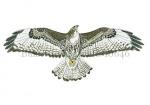 Buizerd-vliegbeeld-10646