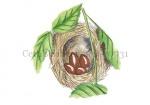 Cetti's zanger-nest-10731