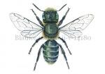 Blauwe metselbij-v-14180