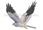 Grauwe kiekendief-m-vlucht-10623