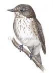 Grauwe vliegenvanger-10594