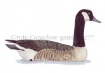 Grote Canadese gans-10277