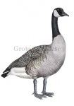 Grote Canadese gans-10636