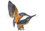 IJsvogels-parend-10564