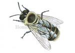 Honingbij-dar-bovenaanzicht-14628